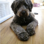 Introducing Rudy The Labradoodle