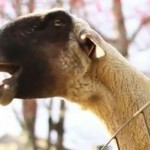 YouTube Viral Videos: Screaming Goat Songs