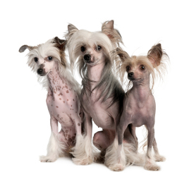 3_chinese_crested_hairless_dogs